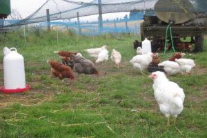 """Foto: braune Hybridhennen, graue Maranhenne und weiße """"Domäne Silber""""-Hennen im Auslauf"""