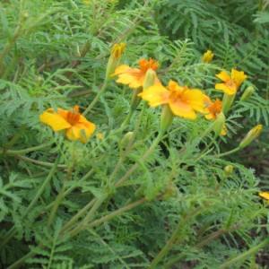 Foto einer Blüte von Würz-Tagetes