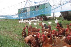 """Foto: braune Hybridhennen und weiße """"Domäne Silber""""-Hennen vor dem Hühnerwagen"""